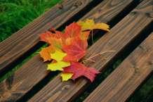 fall-foliage-maple-leaves-autumn-colours-emerge-226007